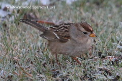 White-crowned Sparrow (juv) (Terrance Carr) Tags: dncb 201649 dike terry carr terrycarr 2016 december 20161206