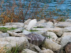Little egret (コサギ) (Greg Peterson in Japan) Tags: shigaprefecture japan jpn moriyama shiga egretsandherons fall rivers wildlife yasugawa birds season