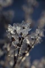 Kuurankukkia / Ice crystals (uusija) Tags: kuura luonto maisema nature talvi