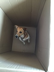 Schrodinger's dog (KelJB) Tags: humour doginfunnysituations funny tanandwhitedog brownandwhitedog smalldog jackrussell cardboard box terrier pet dog canine animal