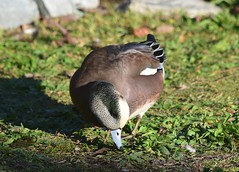 American Wigeon (careth@2012) Tags: duck americanwigeon nature wildlife waterfowl bird beak feathers