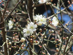 Prunus mume (happytripp) Tags: prunusmume 白梅