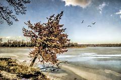 Winter's Edge (Wes Iversen) Tags: trees texture nature geese lakes cookcountyforestpreserve tonemapping tonemap busselake nikkor18300mm busseforestnaturepreserve