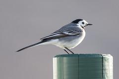 White Wagtail - Motacilla alba - Maruerla (*Jonina*) Tags: birds iceland sland whitewagtail motacillaalba fuglar 1500views 25faves maruerla fskrsfjrur faskrudsfjordur jnnagurnskarsdttir