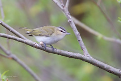 _53F8657 Red-eyed Vireo (~ Michaela Sagatova ~) Tags: dundas songbird redeyedvireo vireoolivaceus dvca michaelasagatova