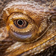 Turns out Sauron was a Bearded Lizard. Who knew? (pkHyperFocal) Tags: macro eye reptile lizard beardedlizard