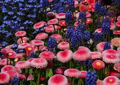 In bloom (Treflyn) Tags: uk england flower garden united royal kingdom devon stunning bloom forgetmenot society grape horticultural hyacinth combination torrington rhs bellis rosemoor
