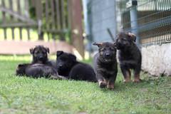 Puppies (blumenbiene) Tags: dog dogs puppy puppies shepherd linie line hund german ddr hunde deutscher welpe schäferhund welpen
