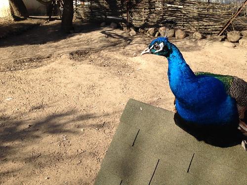 Dudutki: The Peacock Close Up