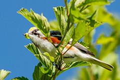 Chestnut Sided Warbler at Grayson Highlands State Park, VA