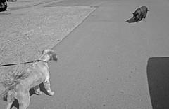 High Noon (elisachris) Tags: street blackandwhite bw dog berlin animals pig tiere hund schwarzweiss ricohgr schwein oberschöneweide littledoglaughednoiretblancet