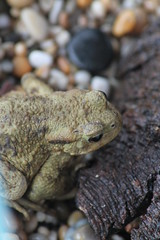 Toad (Harvestman at Large) Tags: toad bufobufo gwt magormarsh