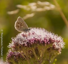 Chalkhill Blue (frattonparker) Tags: butterfly raw papillon crop isleofwight schmetterling farfalle cs6 chalkdownland nikond90 colorefexpro4 nikkor18200mmvrzoom btonner frattonparker