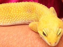 Two kinds of skin (kewzoo) Tags: pets texture animals yellow skin reptile bumpy gecko leopardgecko