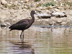 Glossy Ibis (Plegadis falcinellus), 7 August 2014, by Peter Alfrey