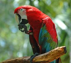 Exotic Bird (ACruz Photography) Tags: bird parrot sq