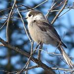 Gray Jay, Perisoreus canadensis thumbnail