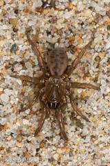 Aptostichus simus - Juvenile (aliceinwl1) Tags: aptostichus aptostichussimus arachnid arachnida araneae arthropod arthropoda ca california euctenizidae mygalomorph mygalomorphae santabarbaracounty southerncoastaldunetrapdoorspider v waferlidtrapdoorspider locnoone simus spider viseveryone