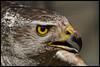 Northern goshawk (Accipiter gentilis) (Xavi BF) Tags: animals xavier aus bayod farré cimdàligues xavierbayod xavierbayodfarré
