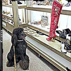 """Midnight presents """"KINKY BOOTS"""" (Midnight and me) Tags: dog shoes boots poodle midnight kinky kinkyboots standardpoodle ladiesshoes redboots casadei shoedepartment hotboots blackstandardpoodle expensiveshoes balharbourmall midnightandme smilingmidnight shoppingmidnight"""