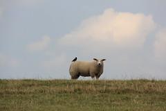 good friends sheep (Rasande Tyskar) Tags: friends bird birds sheep dyke vögel freunde dike elbe vogel schafe schaf deich