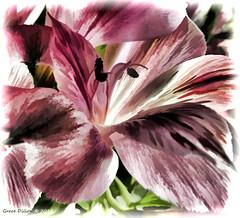 Bloom (Grace Pedulla Dillon) Tags: flowers stilllife petals digitalart digitalpainting astromelia