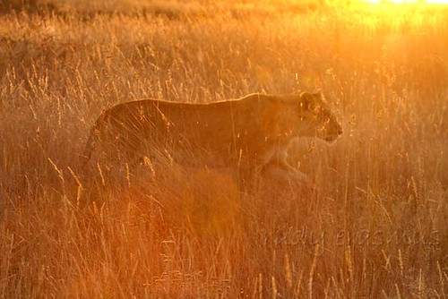 Lioness against  the setting sun_2596