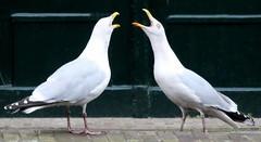 schiedam,boat trip (99) (bertknot) Tags: seagulls schiedam zeemeeuwen schiedamboattrip schiedamrondvaart rondvaartschiedam