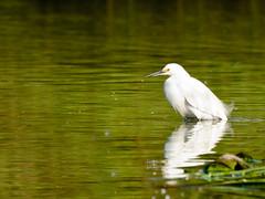 Snowy egret 1 (poppiness) Tags: santacruz white green bird water snowyegret schwanlake