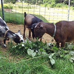 "Violet, Tassie, and Zinnia enjoyed a few of our raspberry cane clippings this morning. It's no wonder that farmers have been using goats as brush clearers for centuries! • <a style=""font-size:0.8em;"" href=""https://www.flickr.com/photos/54958436@N05/14875264891/"" target=""_blank"">View on Flickr</a>"