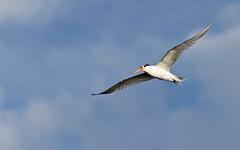 Orange-beaked tern 4 (poppiness) Tags: bird nature wildlife birding shoreline waterbird mountainview tern 70300mmf4556 d7000