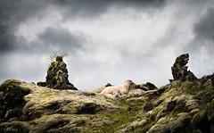 skjli  Hlaskjli (alf07 ,) Tags: lava iceland sheep kind lamb sland kindur hraun hekla hlaskjl hlendi krakatindur lfheiurmagnsdttir hlendislands