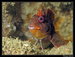Blennius gattorugine (cquintin) Tags: chordata vertebrata blennie actinopterygii perciformes blenniidae gattorugine blennius