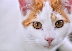 Peter the Cat (Rose Mist) Tags: