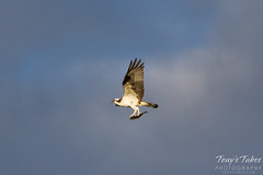 Osprey returns with breakfast