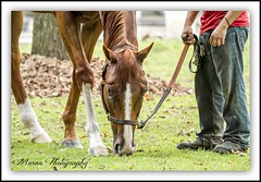 (EASY GOER) Tags: summer horses horse ny sports racetrack race canon track saratoga competition racing 7d athletes races sporting spa thoroughbred equine thoroughbreds sportofkings
