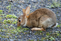 Rabbit 3 (Largeguy1) Tags: rabbit nature animal canon lens mark 150 ii 5d approved tamron 600mm