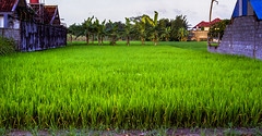 Digging through the archives: Indonesian rice paddies (angeloangelo) Tags: plants brick green film nature field rural indonesia 50mm rice paddy farm stock grow depthoffield palmtree crops ricepaddies yogyakarta lush distance canonrebel2000 fertile canonef50mmf18ii