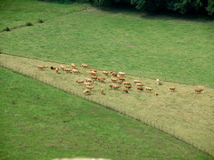 triangle bovin (sabine-43) Tags: vaches troupeau