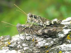 Melanoplus punctulatus (tigerbeatlefreak) Tags: park bug insect nebraska state western grasshopper acrididae overlooked chadron melanoplinae melanoplus punctulatus