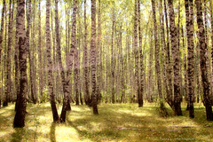 Enchanted Forest (gráce) Tags: trees light nature forest shadows lensflare birch