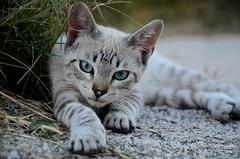 Intense gaze _4923 (antarc foto) Tags: cat intense little mirada gaze teruel matarranya aragón terol aragó gatet intensa matarraña lafreixneda