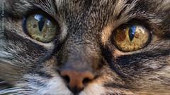 eyes of the tiger (Puma 68) Tags: cat 50mm eyes occhi gatto animale canonef50mmf14usm 50mmf14usm
