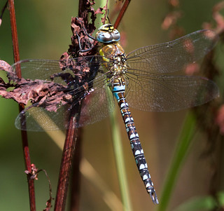 Migrant Hawker - Male (Aeshna mixta)