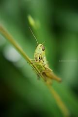 Grasshopper (amirosphere) Tags: summer nature closeup al pentax outdoor 10 ii da grasshopper mm 1855 smc 3556 k10d pentaxk10d smcpda1855mmf3556al justpentax pentaxart