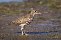 Spotted Sandpiper (Turk Images) Tags: birds alberta shorebirds spottedsandpiper actitismacularia scolopacidae spsa miquelonlake aspenparkland