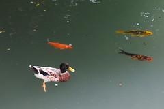 2014-08-30 15.06.41 (pang yu liu) Tags: travel day2 fish animal duck  aug miaoli  08     bnb 2014 nantou