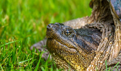Snapper..... (Kevin Povenz) Tags: morning grass turtle michigan ottawa sigma september trail snappingturtle 2014 westmichigan ottawacounty southwestmichigan canon60d sigma140500 kevinpovenz ottawacountyparks grandravines
