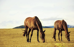 Las hermanas de Isidra (mls2012) Tags: summer espaa horse naturaleza color nature canon landscape caballo spain verano campo animales moment marron tarde montaas comiendo yegua castillaylen yeguas 60d menaza