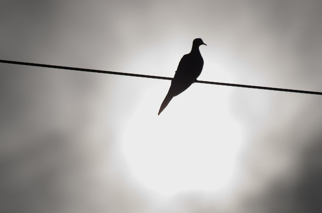The World\'s Best Photos of pigeon and wire - Flickr Hive Mind
